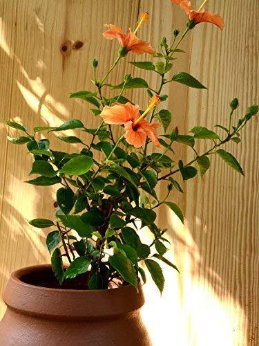 Puspitanursery Hibiscus Or China Rose Live Plant Bangalore Variety