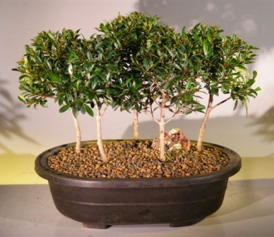 Flowering Brush Cherry Bonsai Tree Five Tree Forest Group by Bonsai Boy by Bonsai Boy