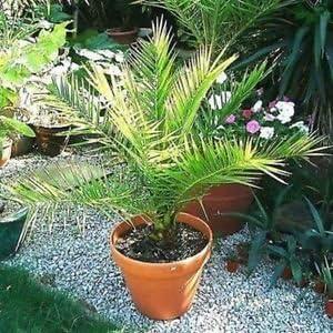 Palmera canaria (Phoenix canariensis Seeds) + 20 Semillas: Amazon.es: Jardín