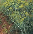 David's Garden Seeds Herb Dill Bouquet D920 (Yellow) 1000 Organic Seeds