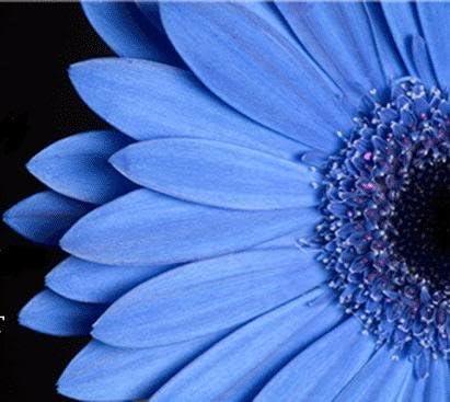 50 The Blues Blau Felicia Heterophlla Kingfisher Blumensamen Kamm S//H