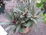 Tradescantia Spathacea Plants, Moses In The Cradle, Oyster Plant, 8-12 inches