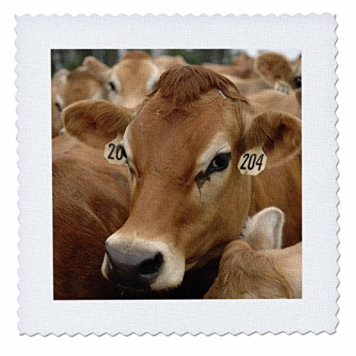 3dRose qs_97172_3 Jersey Dairy Cows, Rib Lake, Wisconsin US50 KRS0004 Keith and Rebecca Snell Quilt Square, 8 by ()