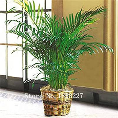 2015 Bonsai lady palm Seeds 100pcs 10kinds mix Flower Seeds Novel Plant for Garden Free Shipping