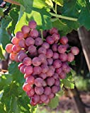 (1 Gallon) FLAME Seedless Grape Vine, Most common variety of Red Grapes found in grocery stores. Flame is often used for raisins.