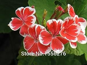 20pcs Geranium Pelargonium Flower Seeds