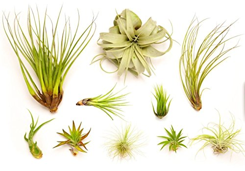 Hinterland Trading Air Plant Collector's Edition (Without Fertilizer)