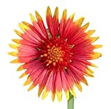 Indian Blanket Flower - Gaillardia - Source of Nectar for Monarch Butterflies - Approximately 1.400 Seeds