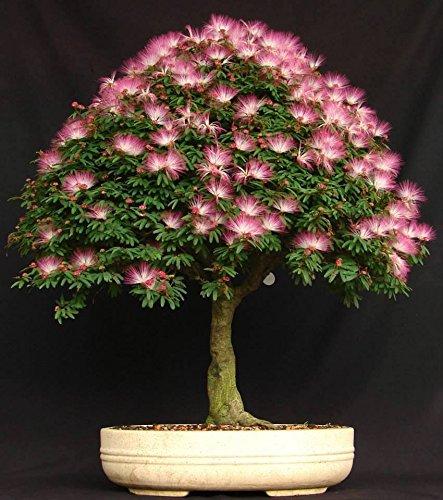 10 Mimosa (Albizia Julibrissin) Seeds, Rare Exotic Bonsai Tree Seeds