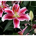 Stargazer Oriental Lilies (12 bulbs) - Freshly Dug Bulbs, Ready to Plant NOW, Blooms Summer 2016