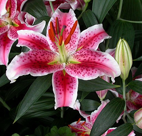 Stargazer Oriental Lilies (12 Bulbs) - Freshly Dug Bulbs by Willard & May (Image #4)