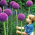 Giant Onion (Allium giganteum) 20 Seeds