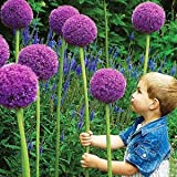 buy Giant Onion (Allium giganteum) 20 Seeds now, new 2018-2017 bestseller, review and Photo, best price $8.64