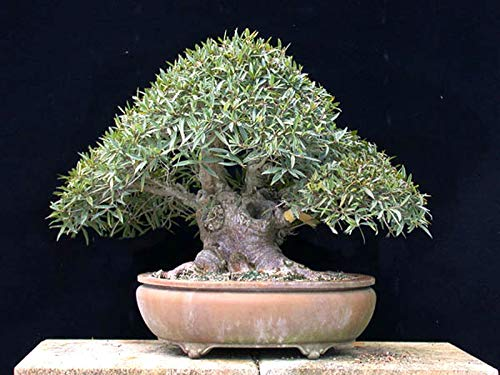 1 Starter Plant of Ficus Salicifolia Willow Leaf Fig Live Bonsai Starter Plant
