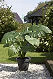 Bloomsz Alocasia Odora Upright Elephant Ear Bulbs Plant (3 Pack)