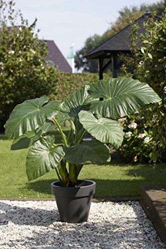 Bloomsz Alocasia odora Upright Elephant Ear Bulbs (3 pack) by Bloomsz (Image #1)