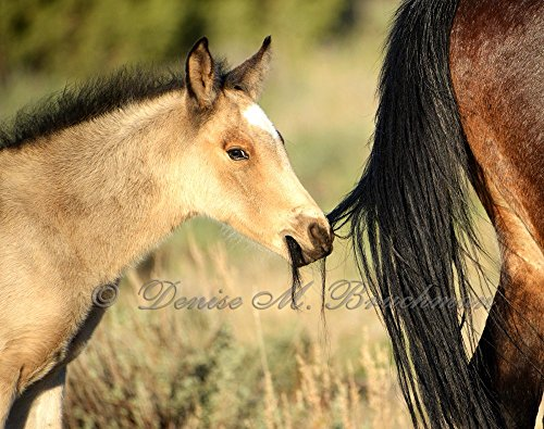 Hanging onto Mom Wild Mustang Foal and Mother Fine Art Photograph - Wild Horses Photos - Baby Animal Prints - Wild Mustangs - Wild Horses by Denise Bruchman Photography