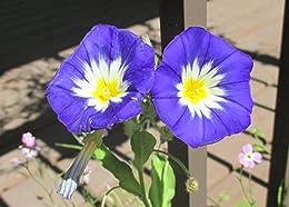 Blue morning glory flower at my own garden .