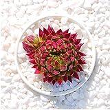 Live Succulent Lithops Cactus Plant | jovibarba allionii Orange