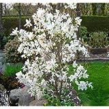 Amazoncom Royal Star Magnolia Tree Live Plants Shipped 1 To 2