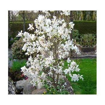Amazoncom Jane Tulip Magnolia Tree Live Plant Shipped 1 To 2