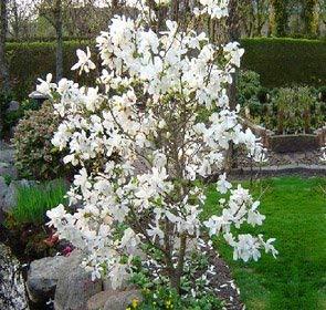 Merrill Magnolia Tree - Live Plants Shipped 2 to 3 Feet Tall by DAS Farms (No California)