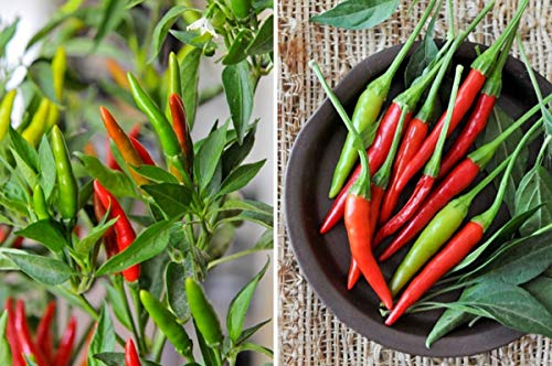 Thai Bird Chili Pepper - A prolific producer of 2 to 3-inch long peppers! GREAT!(10 - Seeds)