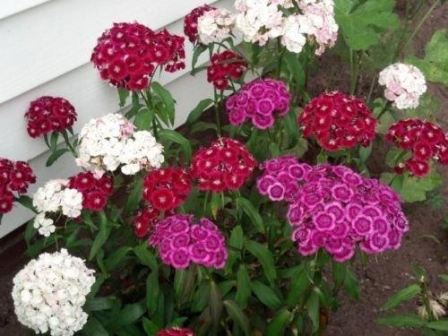 Dianthus Barbatus Carnation Sweet William Heirloom Mix Flower 100+ Seeds (Fresh)