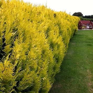 HARDY 6 X TREES GREEN LEYLANDII HEDGING CONIFER PLANTS 40-50CM 9CM POT