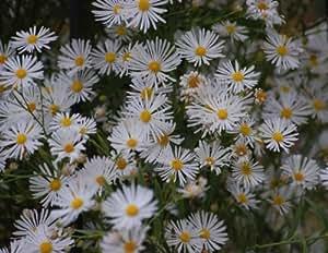 Falsa Aster * boltonia Asteroides * Late temporada mariposa néctar fuente * semillas
