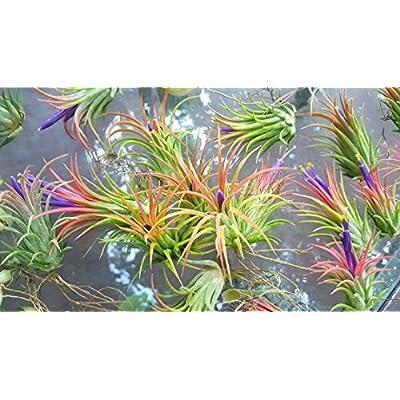 The Drunken Gnome Tillandsia Air Plants, Small (10-Pack Assorted) : Garden & Outdoor