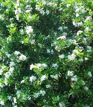 Amazon.com: Sweet mockorange – Arbusto – Saludable ...