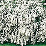Sycamore Trading Spiraea x vanhouttei. Much Better Known as Bridal Wreath