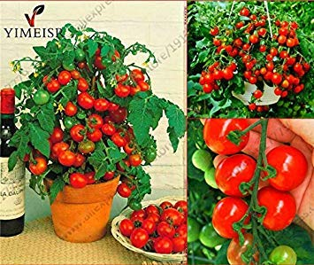 potted tomato seeds - 2