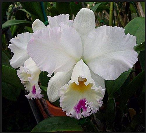 Orchid LC Pure Soul Yutaka Morimoto .. Stock - Vanda Care Orchid