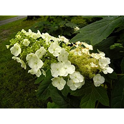 Oakleaf Hydrangea 'Semmes Beauty' (H. quercifolia) : Hydrangeas Native Hydrangeas : Garden & Outdoor