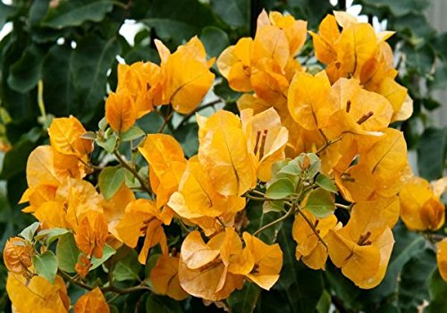 New and Healthy 1 PCS Bougainvillea ' Rainbow Gold ' Starter Plant by gray-gardens