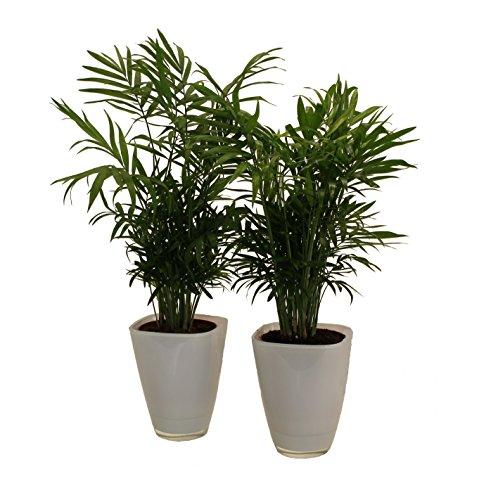 Pflanzenservice 891130 Zimmerpalmen-Duo mit Dekotopf, weiß