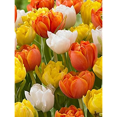 SILKSART 15 Bulbs Plant Beautiful Tulip Bulbs Perennial Bulbs for Garden Planting: Garden & Outdoor