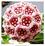 Thanatorn seed shop Bonsai Hoya Seeds,Orchid Flower Seeds Novel Plant for DIY Garden 100 Particles / lot
