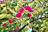 New and Healthy Bougainvillea Raspberry Ice Bougainvillea Glabra