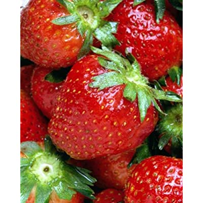 10 Heirloom Earliglow Strawberry Seeds : Strawberry Plants : Garden & Outdoor