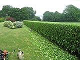 Sweet Viburnum Odoratissimum Qty 40 Live Plants Privacy Hedge