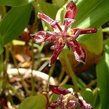 Lis Orchidée - Tricyrtis hirta Raspberry Mousse: Amazon.fr: Jardin