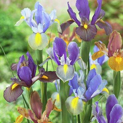 Iris Flower Bulbs - 9