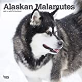 Alaskan Malamutes 2019 12 x 12 Inch Monthly Square Wall Calendar, Animals Dog Breeds (English, French and Spanish Edition)