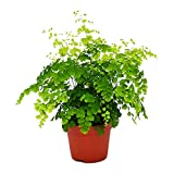 "AMERICAN PLANT EXCHANGE Maidenhair Fern Indoor/Outdoor Air Purifier Live Plant, 6"" Pot, Graceful Look"