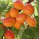 New Apricot Self-fertile Sweet Tasty Orange Fruit 20+ Seeds