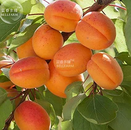 Amazon.com: Nueva albaricoque self-fertile Sweet Tasty ...