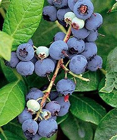 Blueberry Plant Vaccinium U0026quot;Sweet Crispu0026quot; High Bush ...